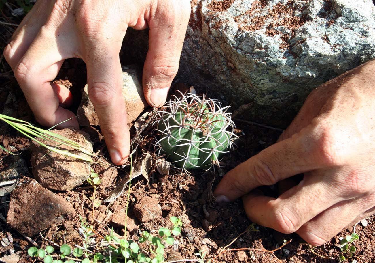 reintroduction_of_an_endemic_cactus_to_the_wil